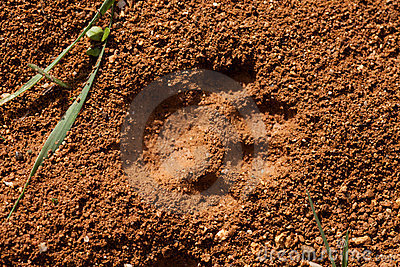 Cat Track in Wet Mud