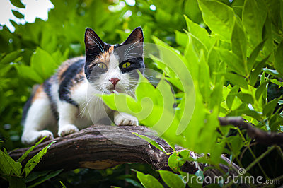 Tricolor calico cat in tree hunting