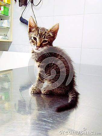 Cat in the veterinarian.