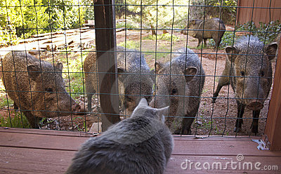 Cat watches wild animals( javalinas)