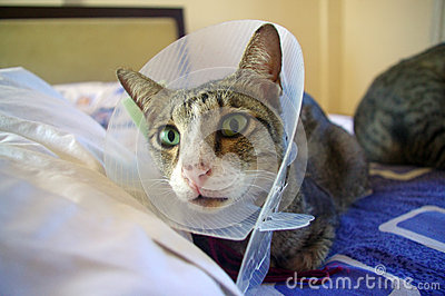 Cat wearing protective collar