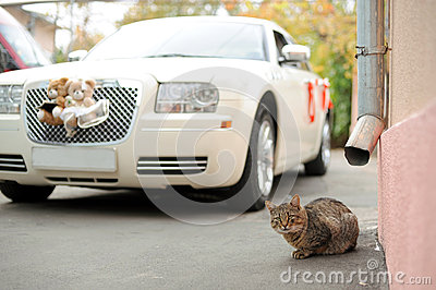 Cat and Wedding Car