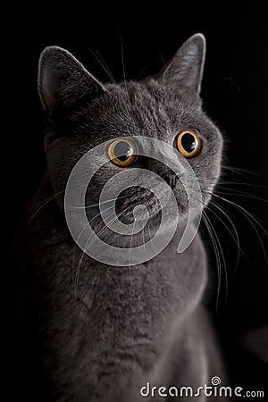 Free Cat With Dark Yellow Eyes Stock Photo - 16322490