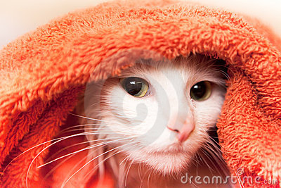 Cat wraped up in a towel