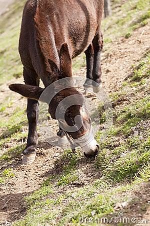 Catalan donkey