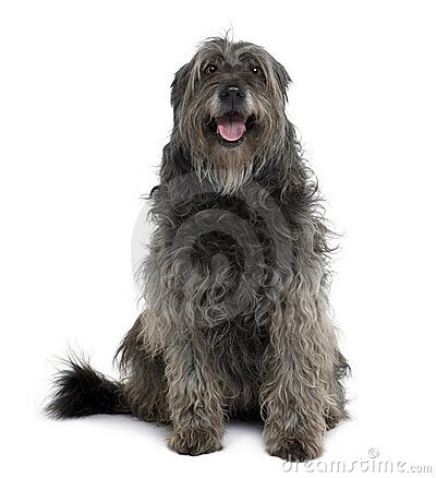 Catalan Sheepdog, sitting and panting