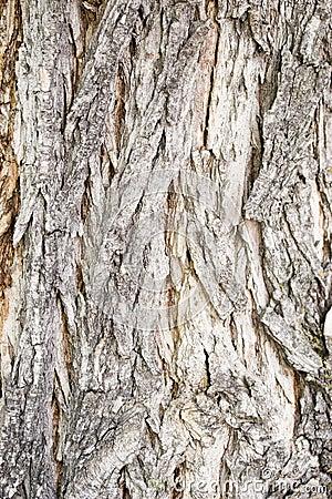 Catalpa tree bark
