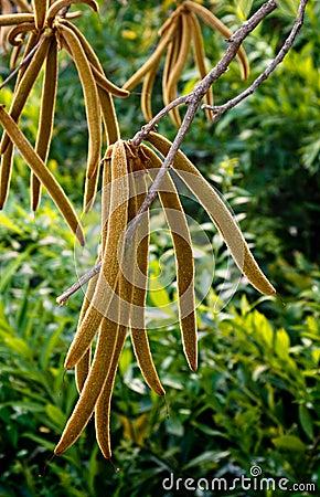 Free Catalpa Tree Fruit Stock Photography - 9271302