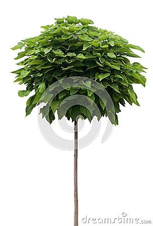 Free Catalpa Tree Isolated On White Stock Images - 32533354