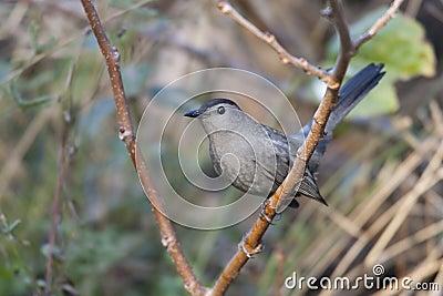 Catbird gris (carolinensis del Dumetella)