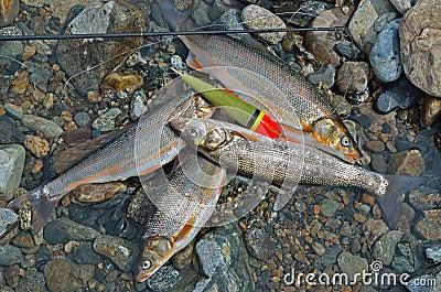 Catch of fish 12