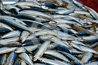 Catch of fresh sardines