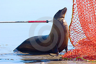 Catch pole on Harbour Seal