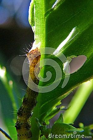 Free Caterpillar Royalty Free Stock Image - 33976
