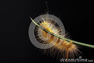 Caterpillar against