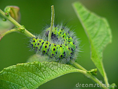 Caterpillar of butterfly Eudia pavonia.