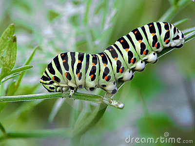 Caterpillar of butterfly Papilio machaon.