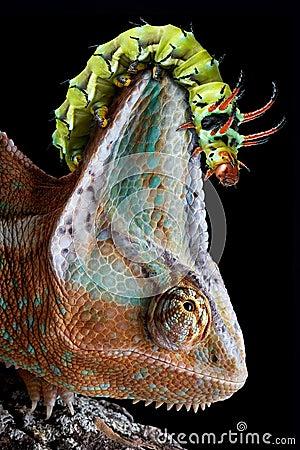 Caterpillar on chameleon s head
