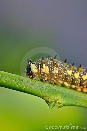 Caterpillar on a Citrus Branch
