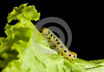 Caterpillar climbing on lettuce