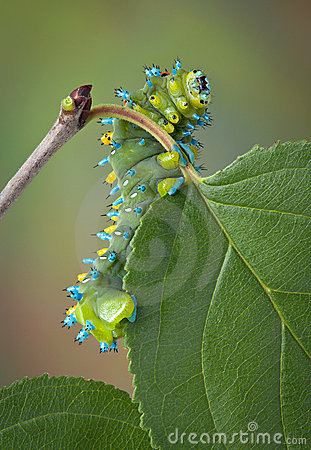 Caterpillar on crab apple