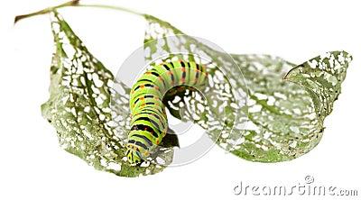Caterpillar crawl across leaf