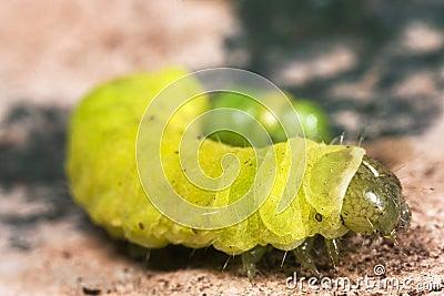 Caterpillar Macro Close Up