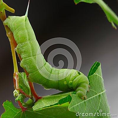 Free Caterpillar On  Grape Leaf. Royalty Free Stock Photo - 26782535