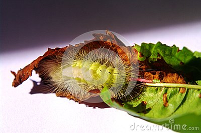 Caterpillar of pale tussock