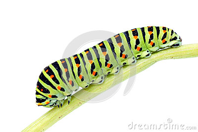 Caterpillar-Papilio machaon.