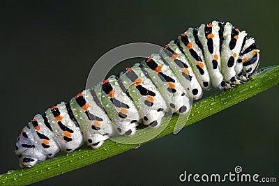 Caterpillar of a Papilionidae