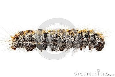 Caterpillar Pine Processionary species Thaumetopoea pityocampa