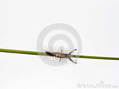 Caterpillar on a stalk.