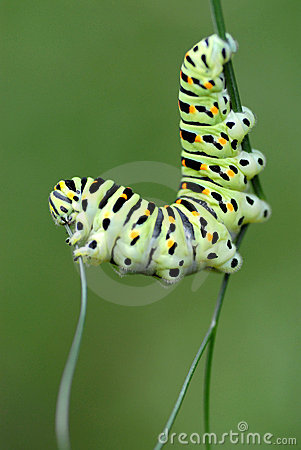 Free Caterpillar Swallowtail Royalty Free Stock Image - 4419116