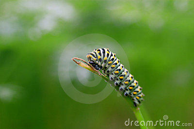 Caterpillar on twig