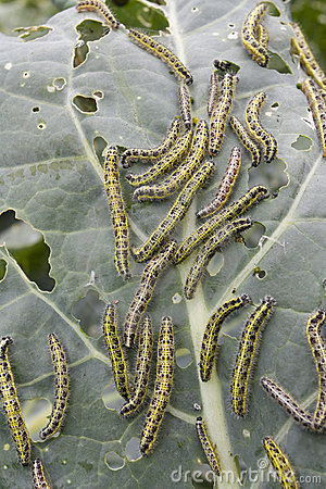 Caterpillars eating vegetable leaf