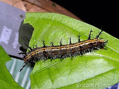 Caterpillars of exotic butterflies of Thailand 7