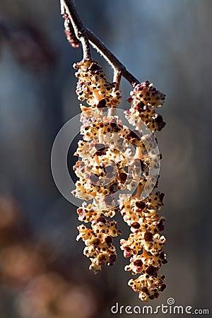Catkins of alder (Alnus glutinosa) in spring