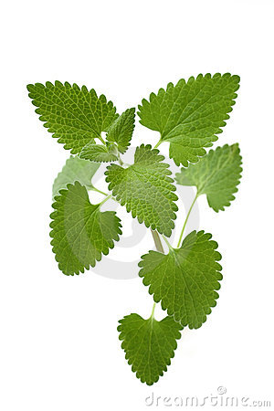 Free Catnip On A White Background Royalty Free Stock Photography - 16592327
