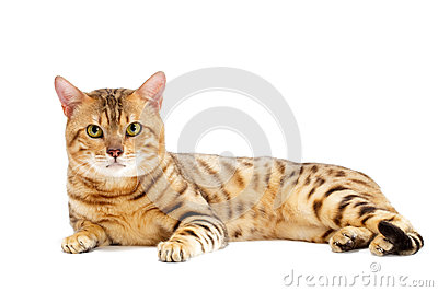 Cats, Bengal breed