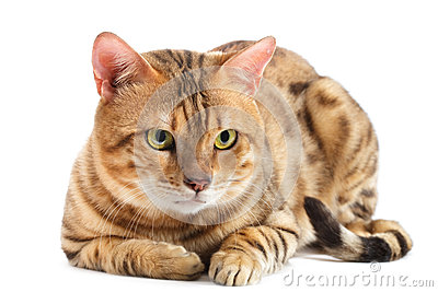 Cats Bengal breed.