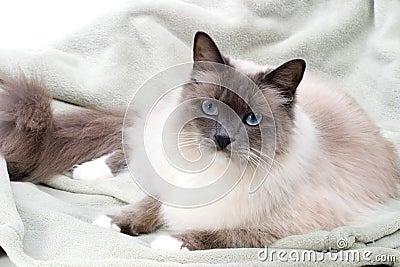 Cats series - ragdoll