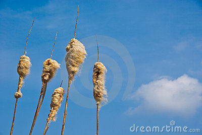 Cattail Seed Heads