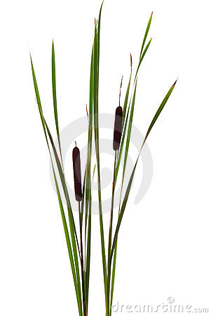 Free Cattails Royalty Free Stock Image - 10706396