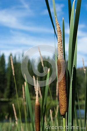 Free Cattails Royalty Free Stock Images - 42662849
