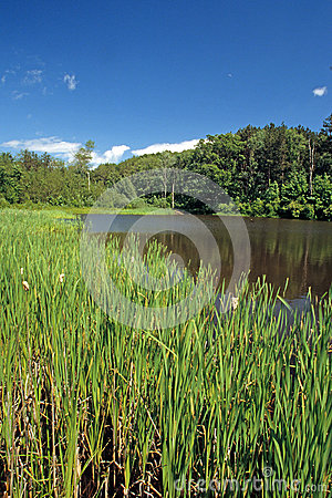 Free Cattails At Edge Of Pond Stock Photos - 67022923