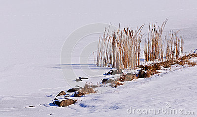 Cattails on a frozen lake