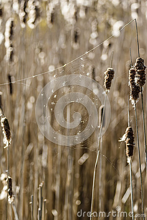 Free Cattails In A Wetland With A Spider Web Royalty Free Stock Photo - 92504705