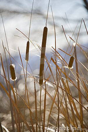 Free Cattails In Winter Stock Photography - 1915402