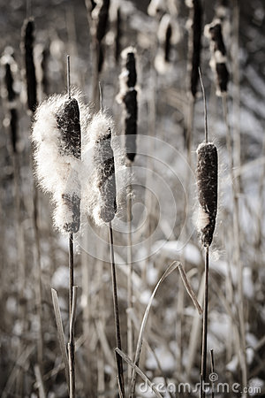Free Cattails In Winter Stock Image - 29381041